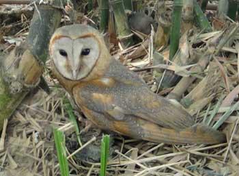 owl-bhitarkanika