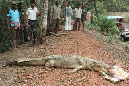 captured-crocodile