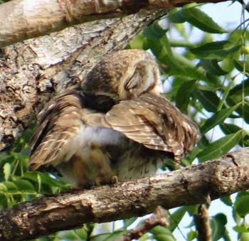 owl-on-daru