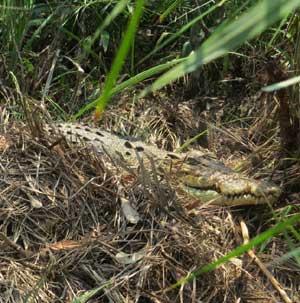 croc-nest