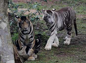 melanistic-tigers