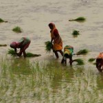 paddy-cultivation