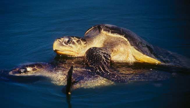 turtles-mating