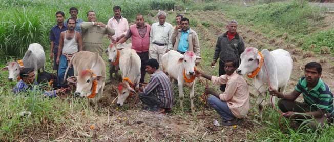Binjharpuri-BullCalf