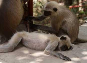 monkey-sleeping