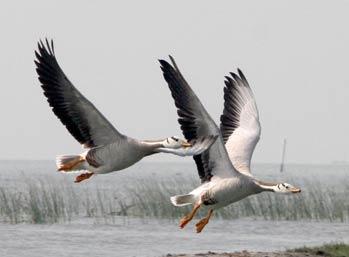chilika-birds