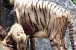nandankanan-tiger