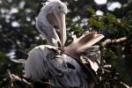 pelican-bird