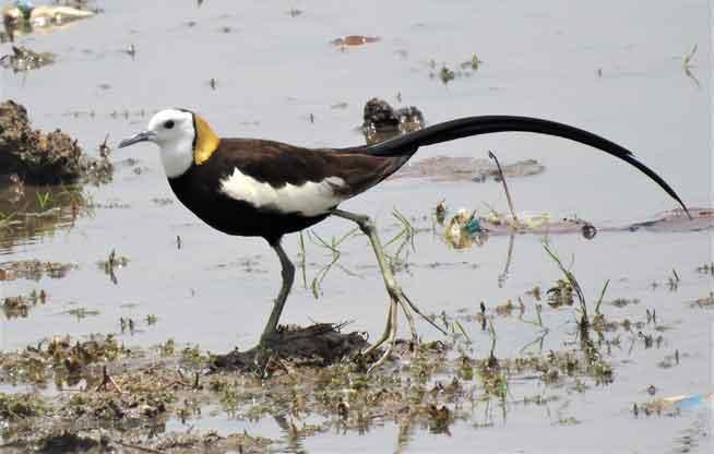 mahanadi-bird
