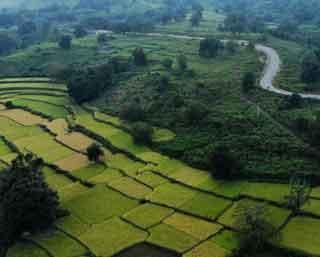 ripening-paddy